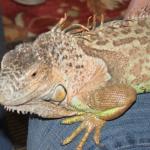 lizards7